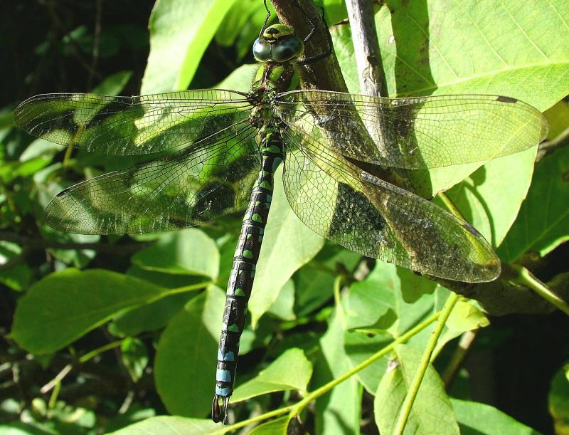 The Brown Hawker