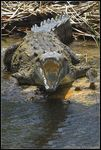 Title: Crocodile in Black River
