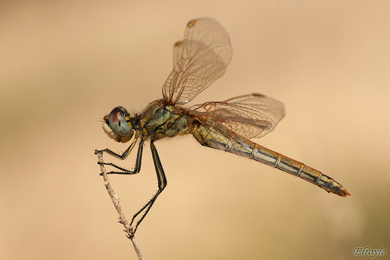'Pure' Dragonfly