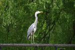 Title: heron and crowCanon EOS 300D