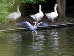 Title: heron and goose