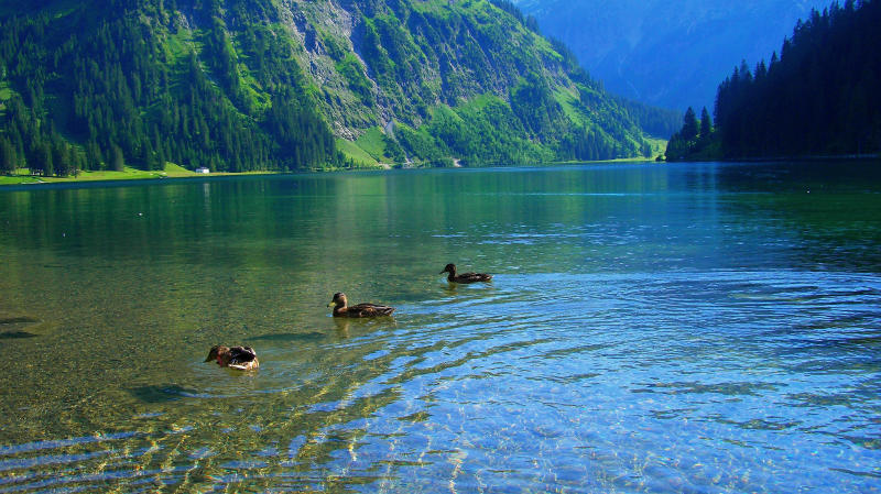 Dugs swimming on the water