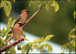 Title: 2 Waxwings