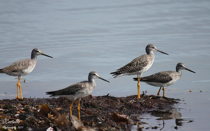 The Greater Yellowlegs