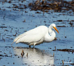 Title: Great Egret