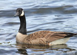 Title: A Small Canada Goose