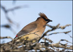 Title: The Cedar Waxwing