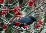 Title: Crowberries