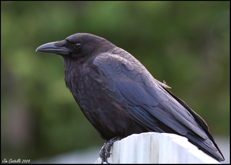The American Crow