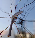 Title: A crane fly