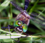 Title: Dragonfly Camera: Sony Dsc F-717