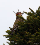 Title: Northern Flicker Lookout
