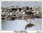 Title: Greater Yellowlegs