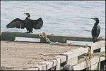 Title: Double-crested Cormorant
