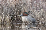 Title: Green-winged teal