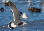 Title: Black- Tailed Gull