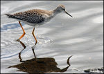 Title: Lesser Yellowlegs
