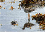 Title: The Greater Yellowlegs