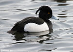 Title: Male Tufted DuckCanon 550 D