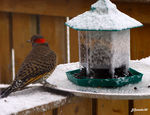 Title: Northern Flicker