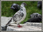 Title: Rock Pigeon