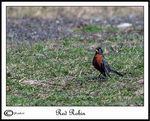 Title: Red Robin