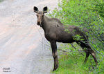 Title: Young Moose