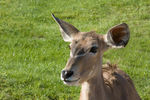 Title: Young Lesser Kudu