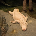 Title: Albino Alligator