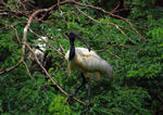 Title: Black Headed Ibis