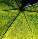 Title: grape vine leaf