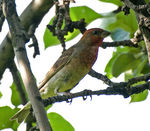 Title: Common Rosefinch