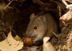 Title: vole in its burrow
