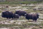 Title: Muskoxes in the rainCanon EOS 300 D