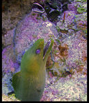 Title: The green moray