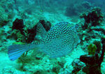 Title: Trunk Fish