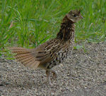 Title: A chicken Crossing the Road?