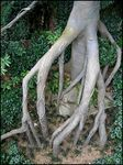 Title: Flying Buttresses and Stilt Roots