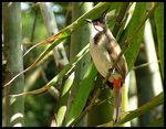 Title: Red-whiskered Bulbul