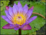 Title: a yellow and lavender lotus flower