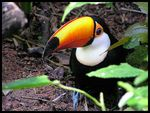 Title: a gentle toco toucan