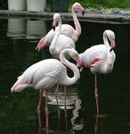 Title: Pink Lesser Flamingos