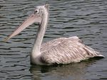 Title: Spot-billed Pelican or Grey Pelican
