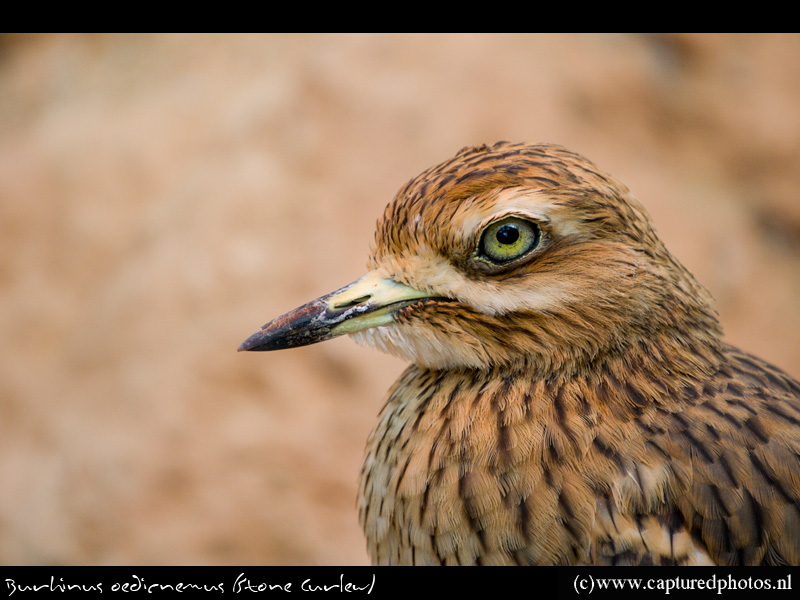 Thick-knee