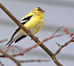 Title: American Goldfinch (for Bob)
