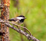 Title: Possible Black-Capped Chickadee?
