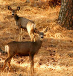 Title: Young Buck and Doe