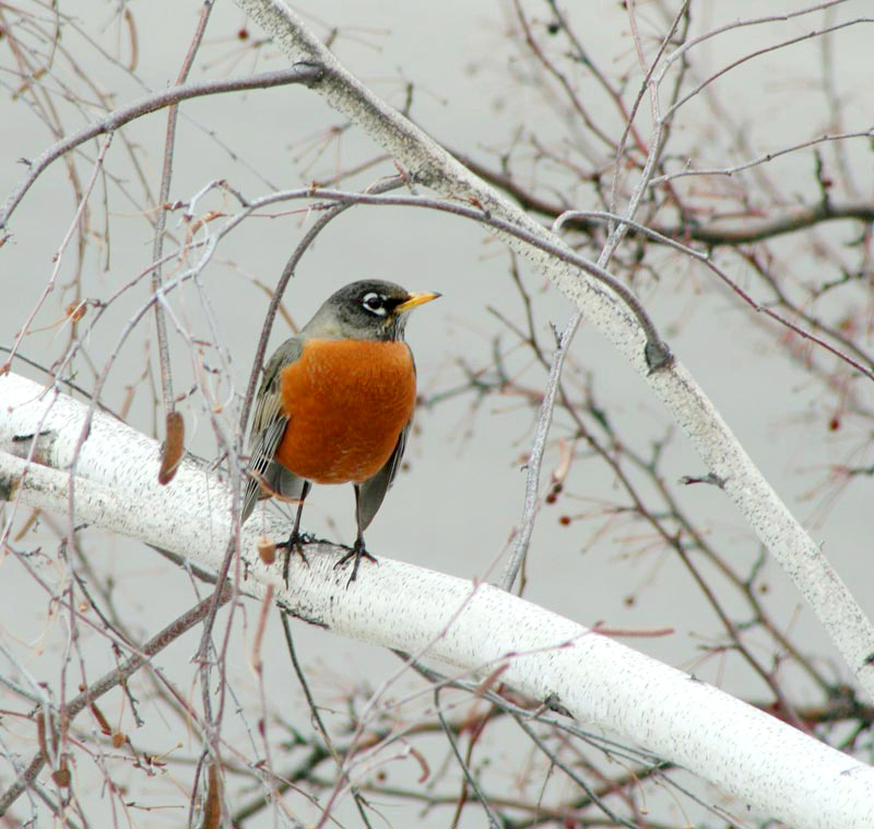 Cloudy Day Bright Robin