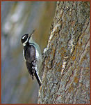 Title: Downy Woodpecker Hunting Insects