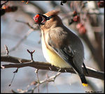 Title: Glutton the Cedar Waxwing